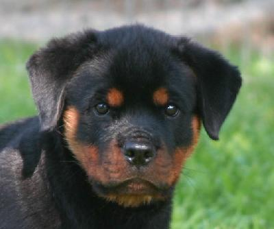 Rottweiler Puppies For Sale - Image 2